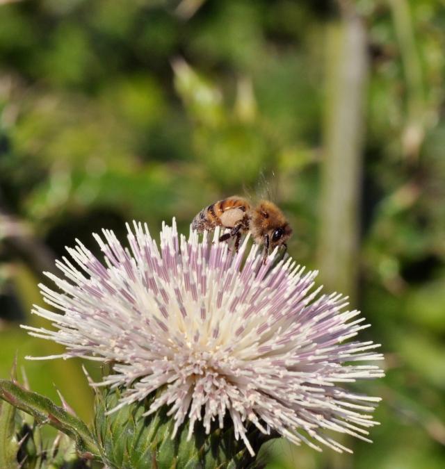 A tiny Okinawan bee