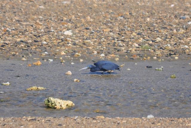 Pacific Rim Egret fishing