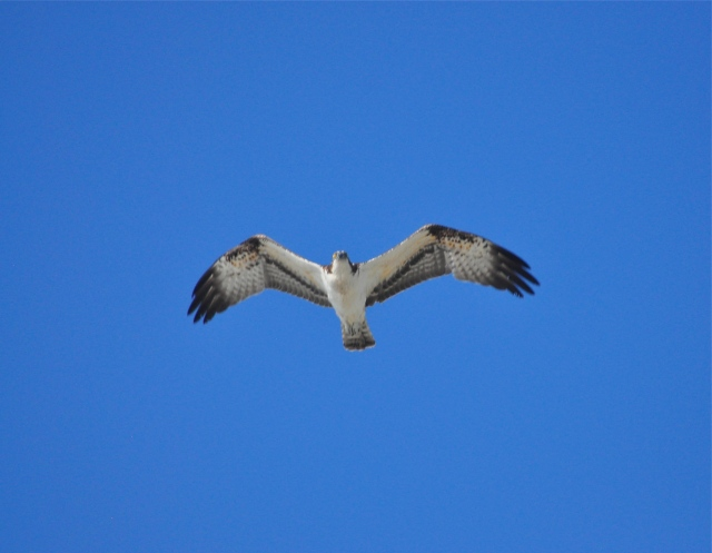 An Osprey drifts over