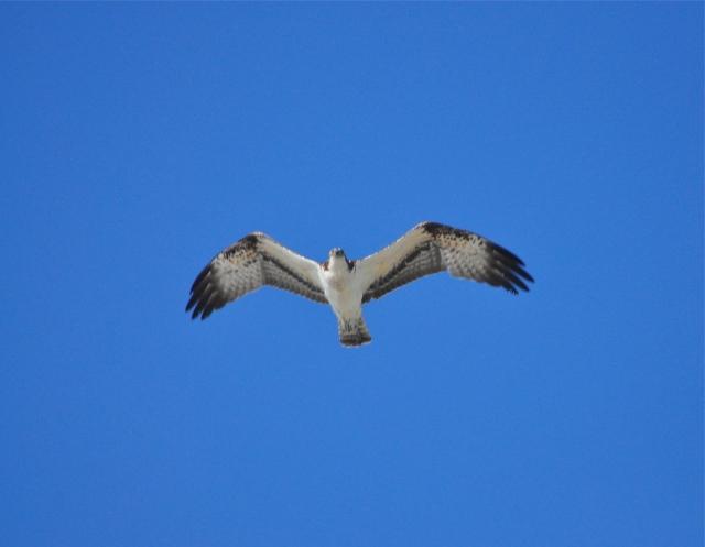 An Osprey drifts over