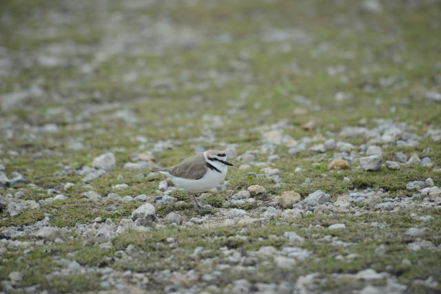 Kentish Plover thinks home thoughts from abroad.