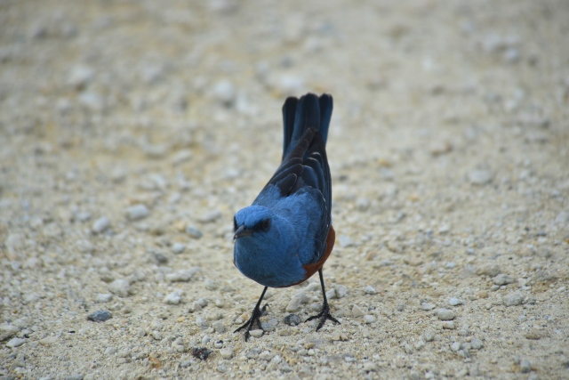 Blue Rock Thrush mocks me