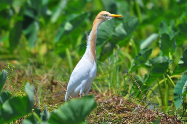 Cattle Egrets have Summer plumage.