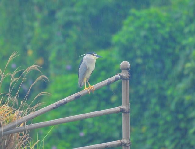 Miss Night Heron
