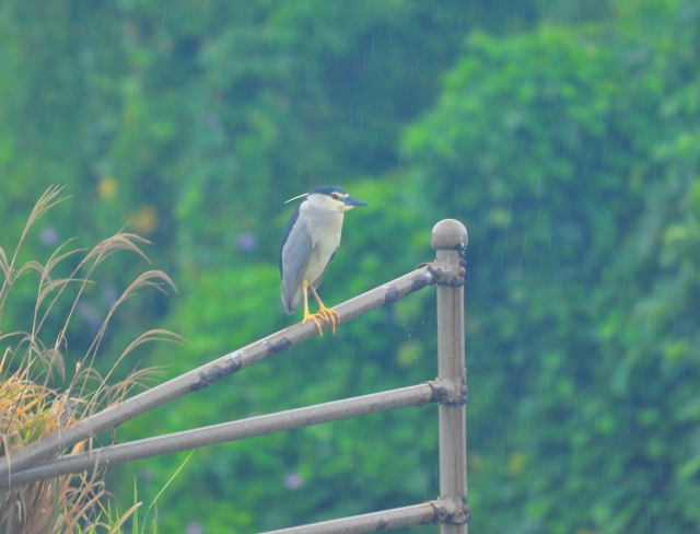 Miss Night Heron