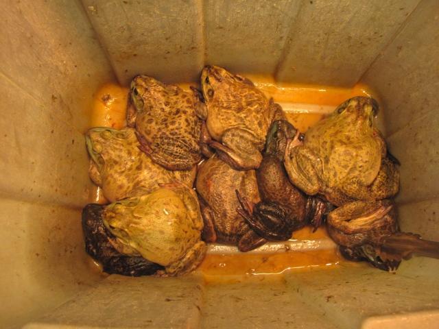 Breakfast Toads