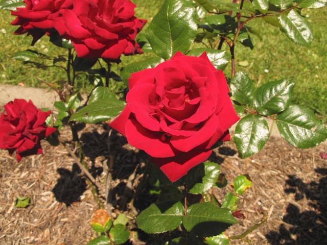 Golden Gate Park has the best rose garden