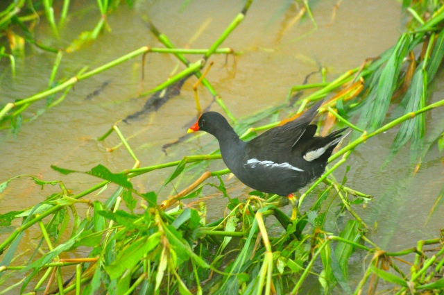 A moorhen tries to make sense of it all.