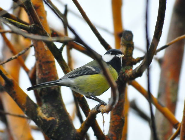 The Great or Big Tit