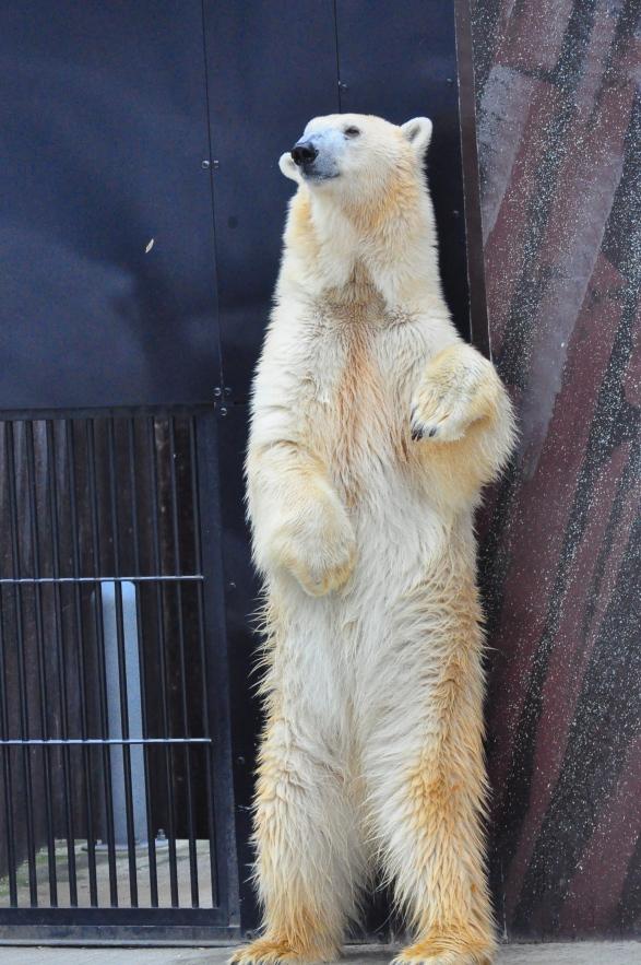 Turning point in Polar Bear evolution