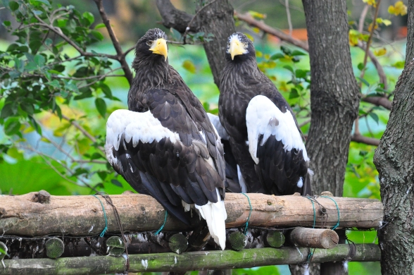 Stellar's Sea Eagles!
