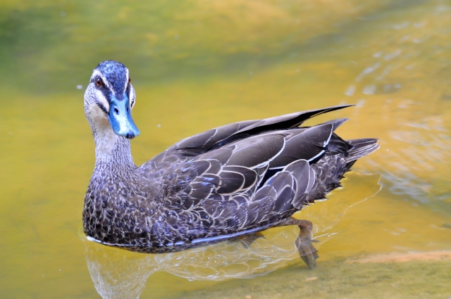 The Goolagong Duck