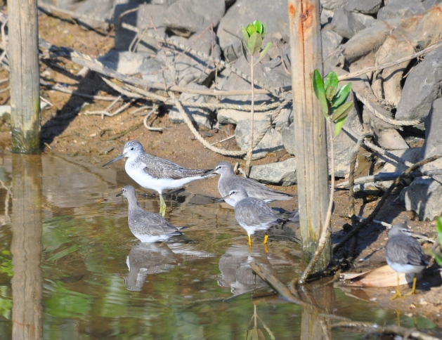 Greenshank with Tattlers