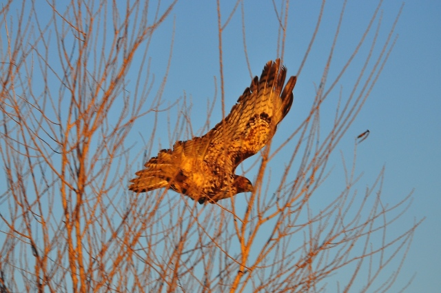 Red Tailed Hawk sets off for a new year. Good hunting buddy.