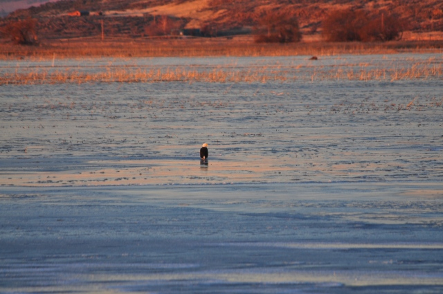 Bald Headed Eagle on frozen Lake Tule.