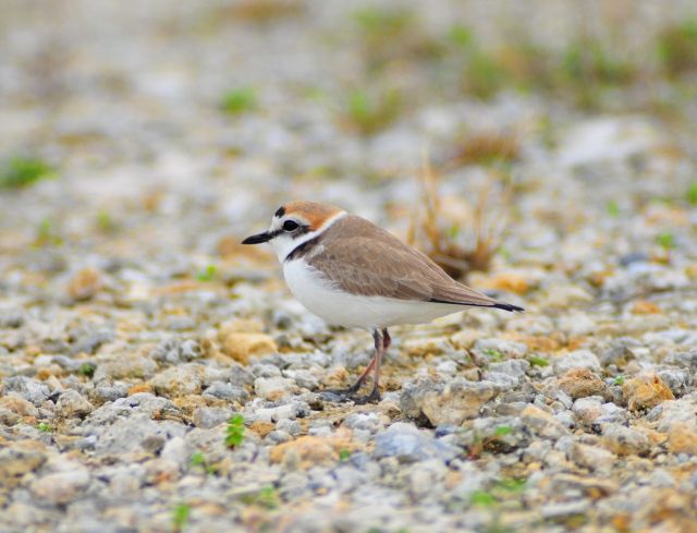 Mr Kentish Plover