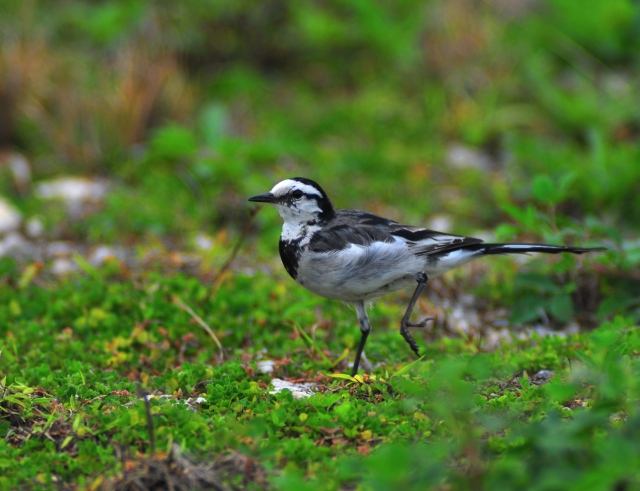 Windswept White Wagtail