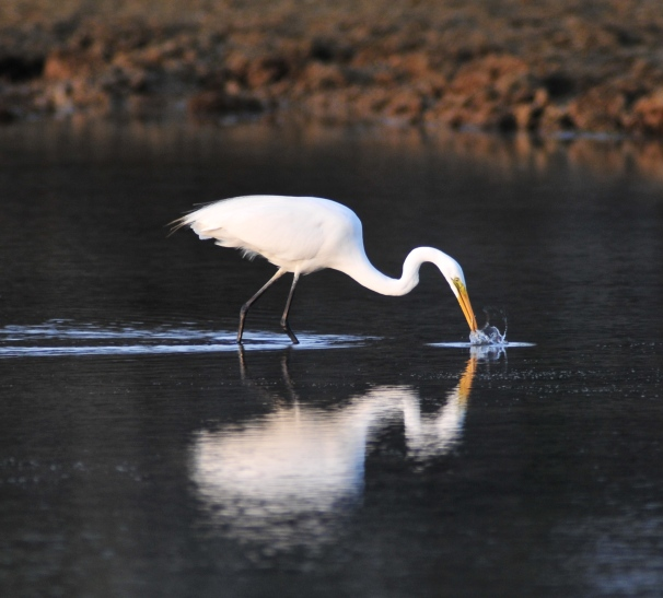 Great White Egret hunting
