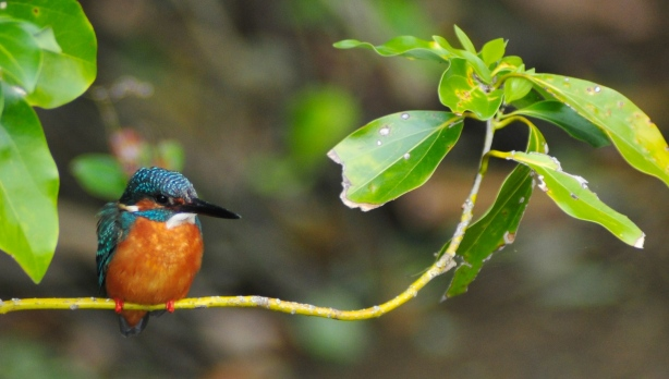 Rodney Kingfisher