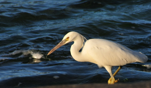 Pacific Rim Egret ( White morph) fishing for crabs right in front of the house.