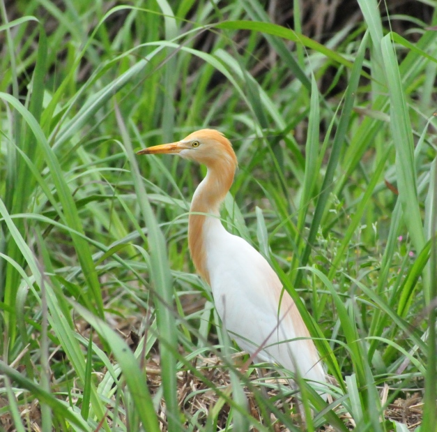Cattle Egret in Summer plumage.