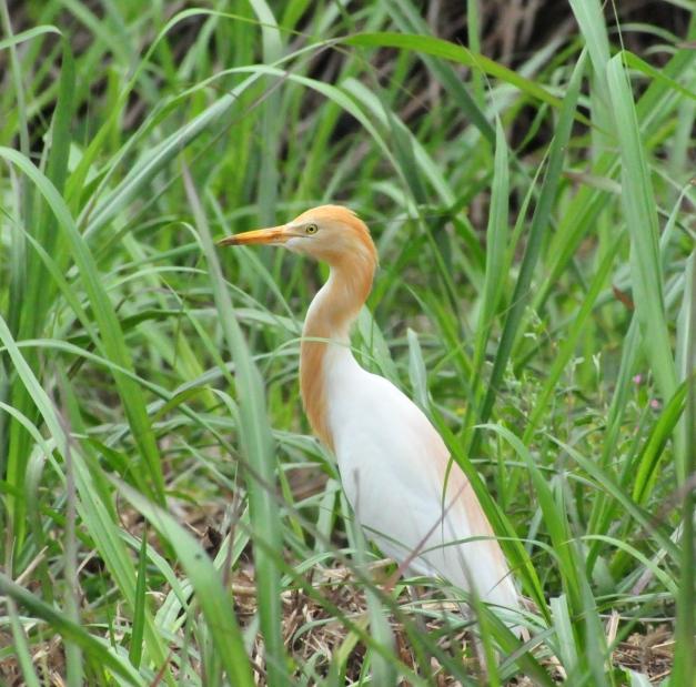 Cattle Egret in Summer plumage.