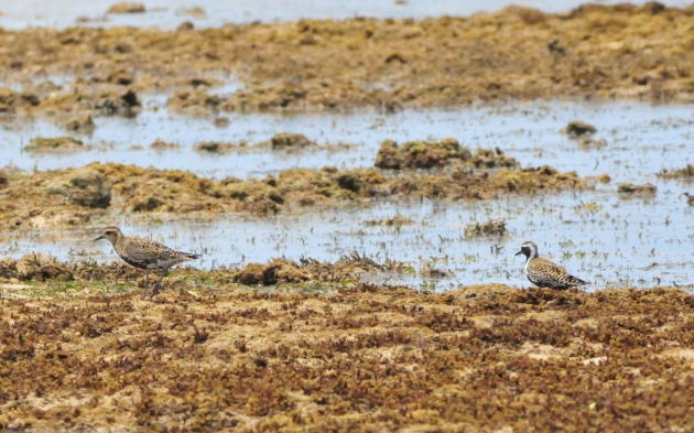 Now, this is a really exciting photo! The plover on the right has its summer plumage whereas the one on the left is right in the middle of the change.