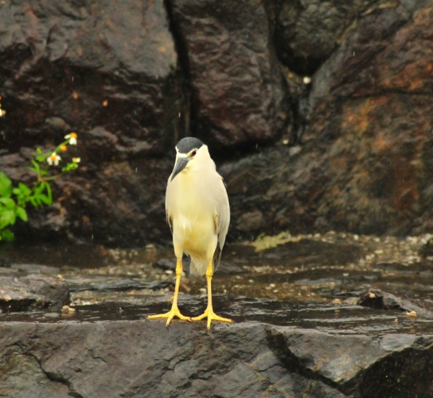 Night Heron sans umbrella