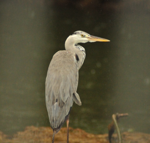 Grey Heron in the rain