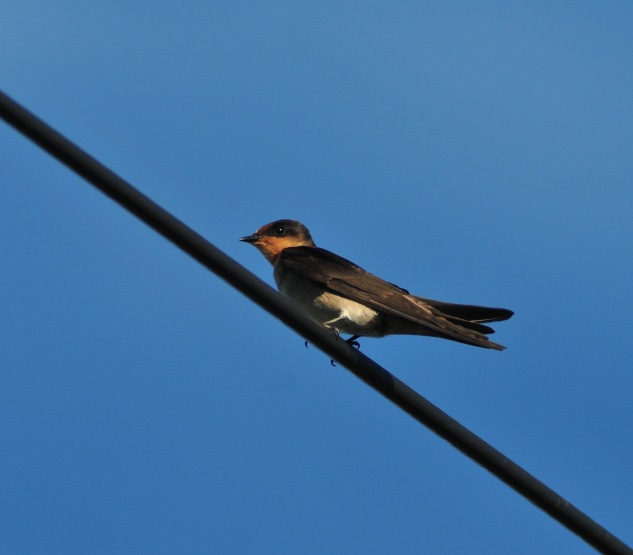 Pacific Swallow on Minna Jima. I also saw the amazing Pacific Swift on Ie. No photo.