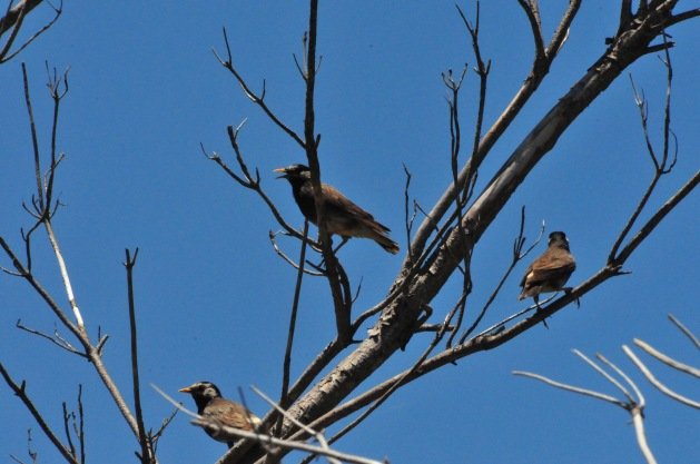 White-Cheeked Starlings! Does n't that send a thrill through you?
