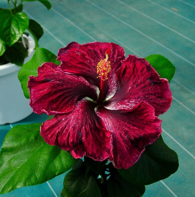 Hibiscus country