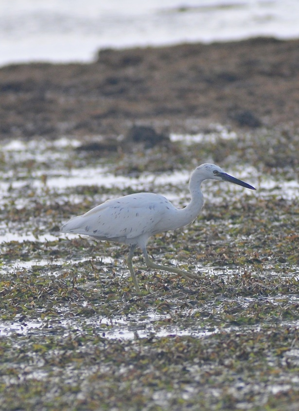 Pacific Rim Egret. This egret comes in 2 morphs , one white, one grey. This is the first dappled one I have seen.