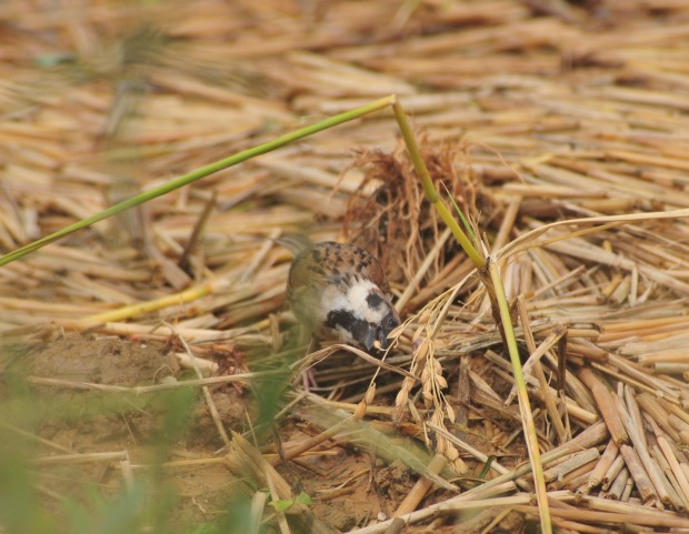 Eurasian Tree Sparrow eats rice missed by the gleaners.