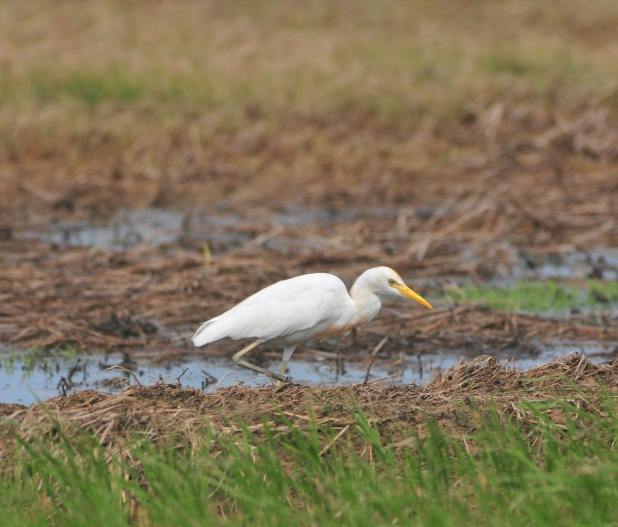 Cattle Egret. You have to click on all these photos to get the full dappledness.