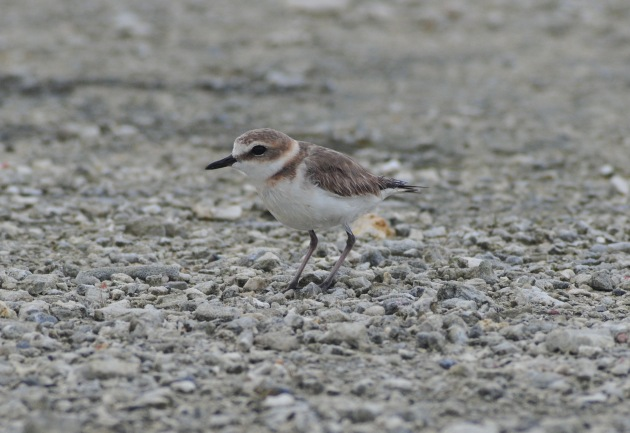 Kentish Plover. Dude we are going to build a Marine Research Facility all over your ass.