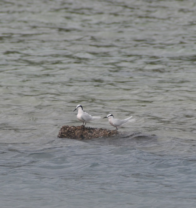 In there same place are Black Browed Terns.