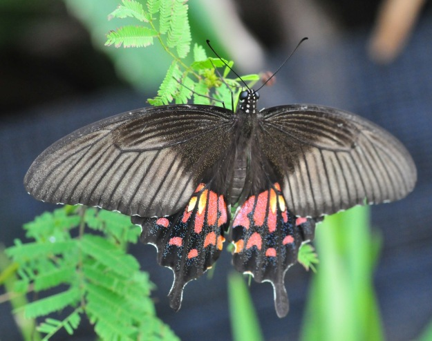 Never seen one of these before. Very beautiful. I would pay anything for an asian butterfly field guide in English.