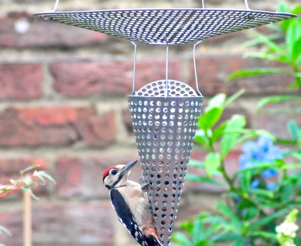 Greater Acned Woodpecker