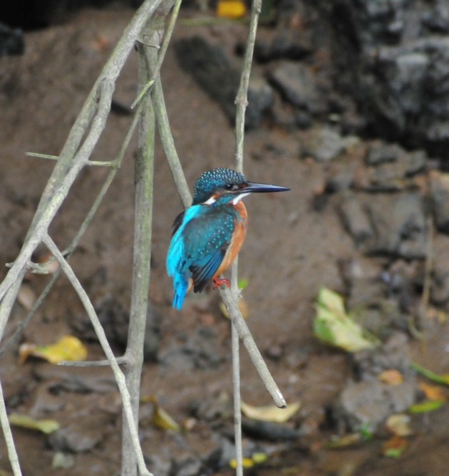My friend the Kingfisher. I think there are 4 on the river/stream.