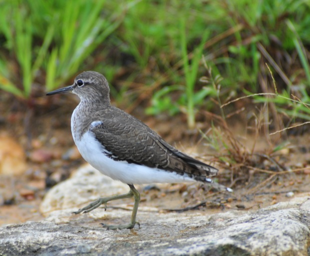 Not a Rail but a Common Sandpiper