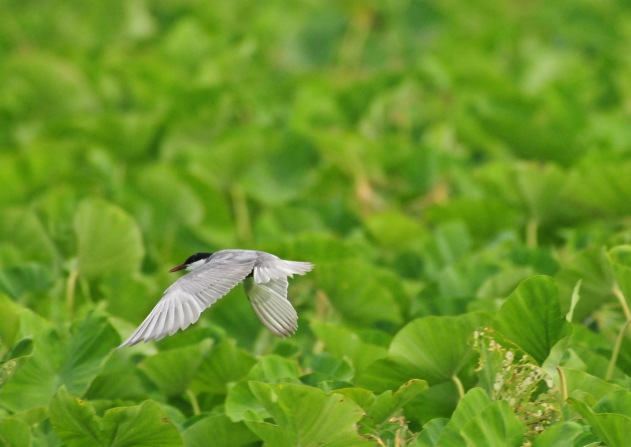 Whiskered Tern over tarot