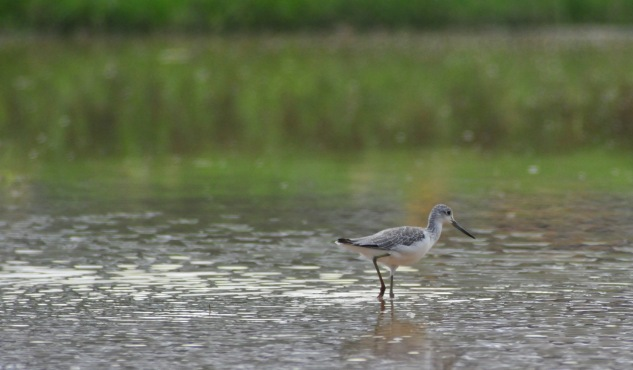Scottish Greenshanks
