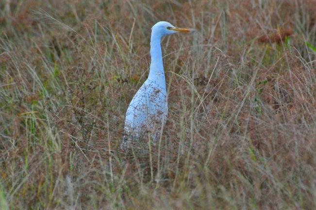 MacCattle Egret