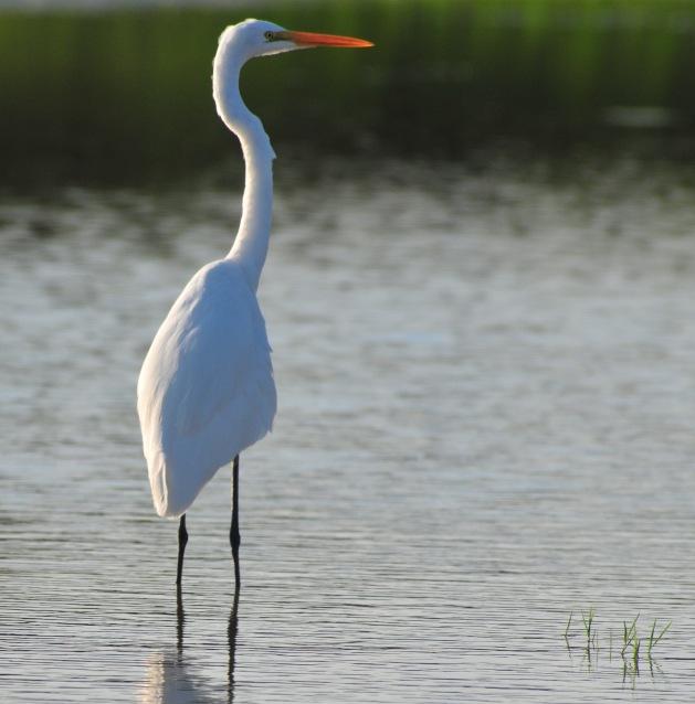 Big Boy Egret