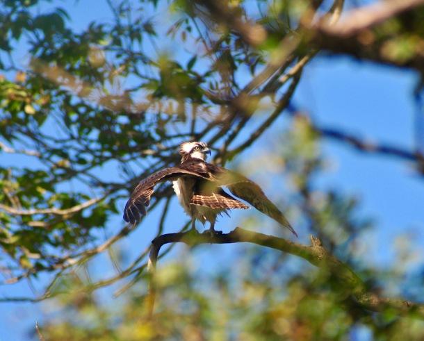 Osprey dries its wings post kill