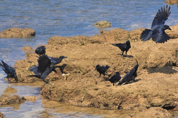 Broad Billed Crows squabble over lamb bones. A first for Okinawa.