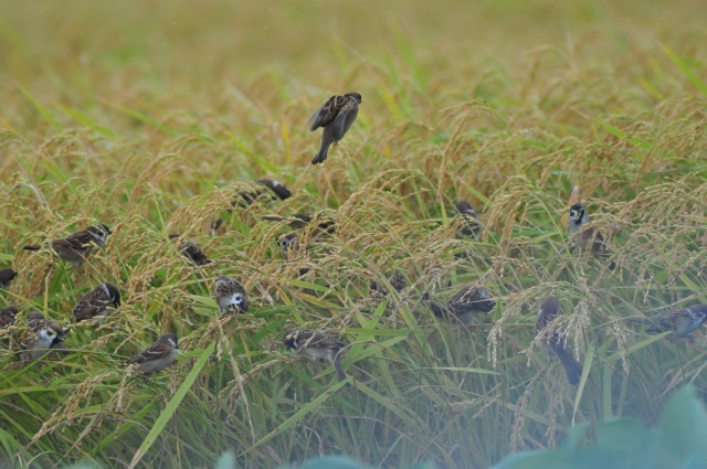 Sparrows eat the rice crop. Is this a sign?