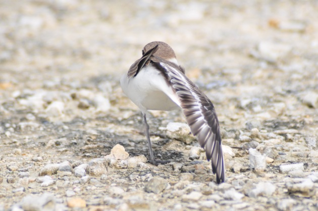 Kentish Plover does yoga